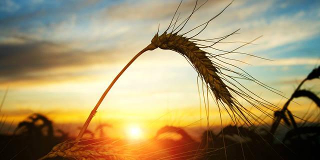 CISL - Nat Cap - wheat - BANNER