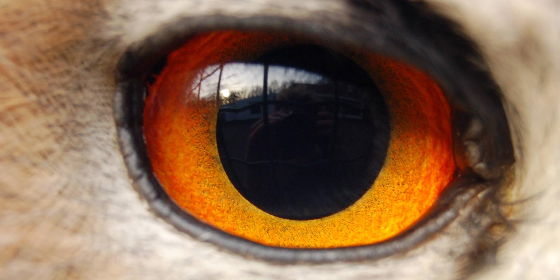 Eagle owl eye - photo 2