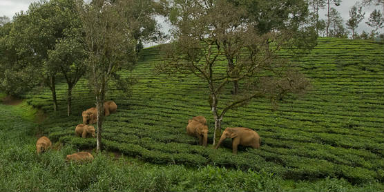 Kalyan Varma - elephants and tea i BANNER