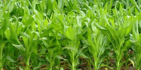 Maize - Kenya - banner